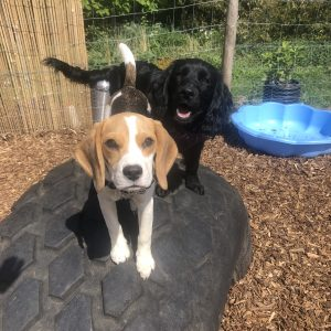 A Beagle and Cocker spaniel stand on a tractor tyre